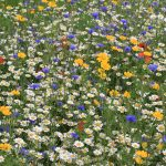Cornfield annuals are added to give colour in the first year of a meadow, while the true perennial species are establishing