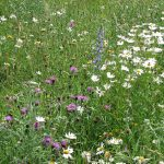 Knapweed, oxeye daisy, and viper's bugloss