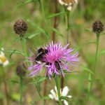 Bumblebees love lesser knapweed too