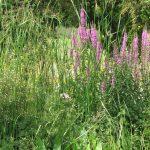 Lesser reedmace & purple loosestrife