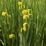 Yellow flag, our native iris