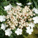 Summer, guelder rose in flower...