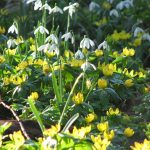 Early spring in a woodland, with snowdrops and aconites